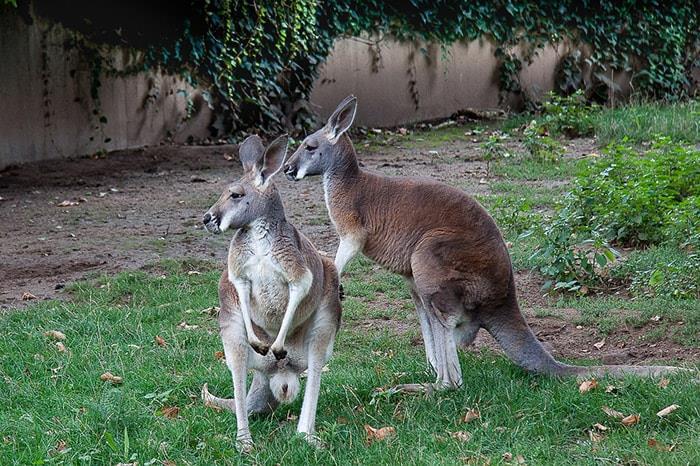 Voyager en Australie avec les kangourou